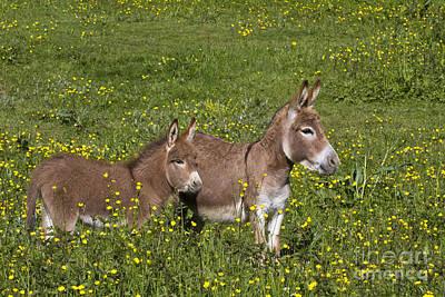 Donkey Foal Photograph - Miniature Donkey And Foal by Jean-Louis Klein & Marie-Luce Hubert