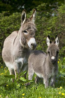 Miniature Donkey Photograph - Miniature Donkeys by Jean-Louis Klein & Marie-Luce Hubert