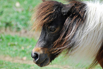 Photograph - Miniature Horse Profile by Teresa Blanton