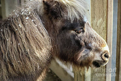 Photograph - Miniature Horse by Suzanne Luft