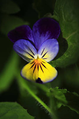 Johnny Jump Up Pansy Photograph - Miniature Pansie by Marilyn Hunt