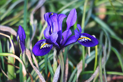 Photograph - Miniature Purple Iris by Trina Ansel