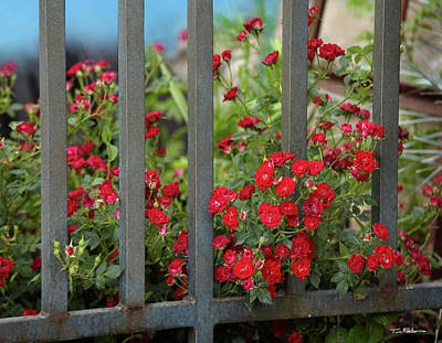 Photograph - Miniature Red Roses by Tim Fitzharris
