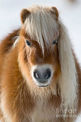 Shetland Ponies Photograph - Miniature Shetland Pony by Mark Bowler and Photo Researchers