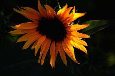 Miniature Sunflower Art Print by Martin Morehead