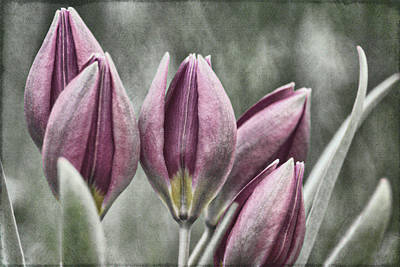 Photograph - Miniature Tulips Txt by Theo O'Connor