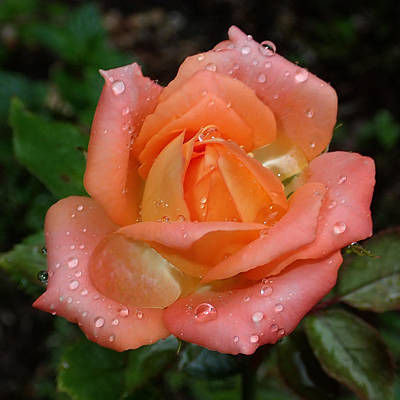 Photograph - Miniature Wet Rose by Farol Tomson
