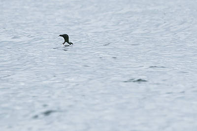 Photograph - Minimal Guillemot by Wendy Cooper