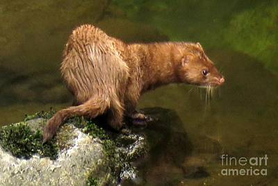 Photograph - Mink Alert by Frank Townsley