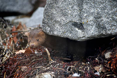 Photograph - Mink At The Breakwater by John Meader