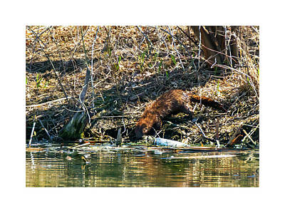 Photograph - Mink At The Waters Edge by Edward Peterson