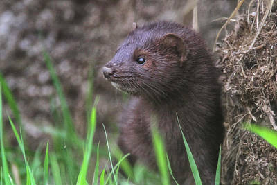 Photograph - Mink by Craig Strand