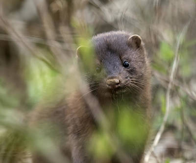 Photograph - Mink by David Lester