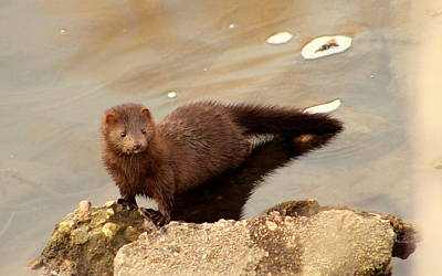Mark Wagner Wall Art - Photograph - Mink by Mark Wagner