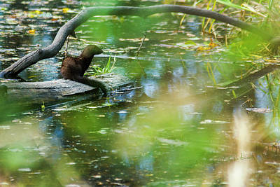 Photograph - Mink On A Log by Edward Peterson