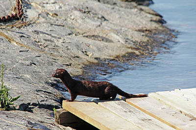 Photograph - Mink On The Dock by Debbie Oppermann