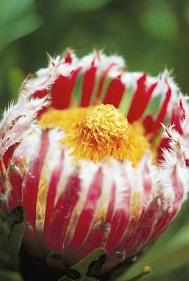 Photograph - Mink Protea by Allan Seiden - Printscapes