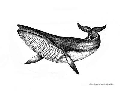 Drawing - Minke Whale - Vintage Drawing by Art MacKay