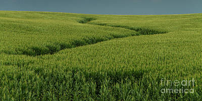 Photograph - Minnesota Corn Field by Garry McMichael
