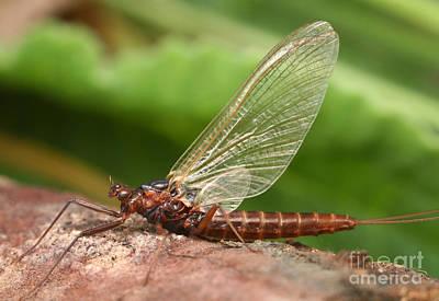 Mayfly Photograph - Minnow Mayfly by Matthias Lenke