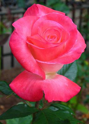 Photograph - Minot Rose Garden by Juergen Roth