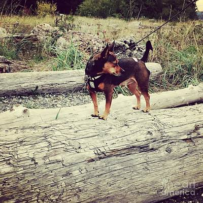 Photograph - Minpin On A Log by LeLa Becker