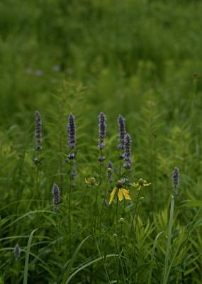 Photograph - Mint In The Meadow by Tim Good