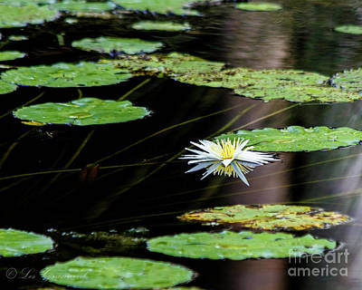 Photograph - Mirror Lily by Les Greenwood