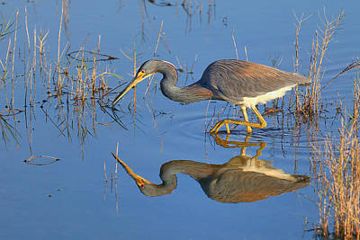 Tri-colored Heron Photograph - Mirror, Mirror  by John Absher