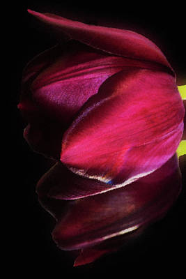 Photograph - Mirror Tulip  by Cliff Norton