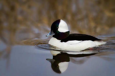 Photograph - Mirrored Bufflehead by Craig Strand