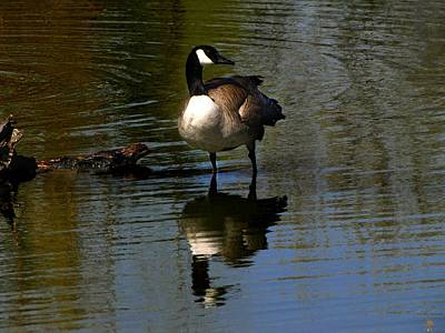 Photograph - Mirrored Goose by Scott Hovind