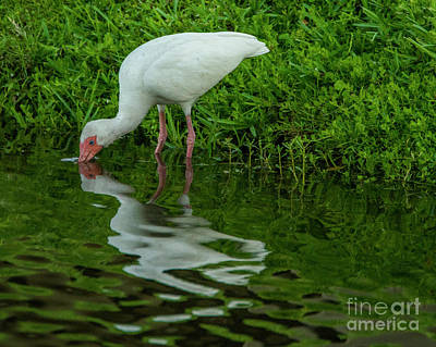 Photograph - Mirrored Ibis by Eric Killian