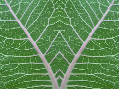 Photograph - Mirrored Milkweed Veins by Paul Rebmann