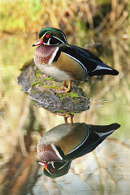 Photograph - Mirrored Wood Duck by Craig Strand