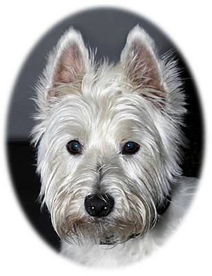 Mischievous Westie Dog Art Print