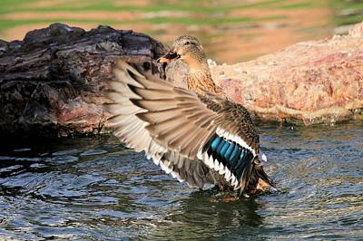 Photograph - Miss Mallard by Greg Wickenburg