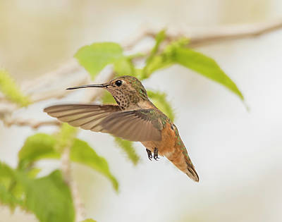 Photograph - Miss Rufous by Loree Johnson