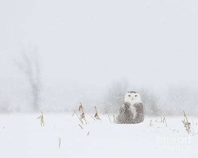 Photograph - Miss Snowy Owl And Her Snowflakes by Heather King