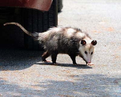 Opossum Photograph - Missed Me by Al Powell Photography USA