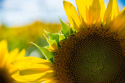 Sunflowers Royalty-Free and Rights-Managed Images - Missing a Few by Kristopher Schoenleber