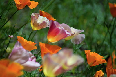 Mission Bell Poppies Art Print