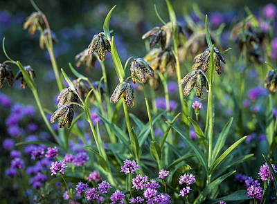 Photograph - Mission Bells And Plectritis by Robert Potts