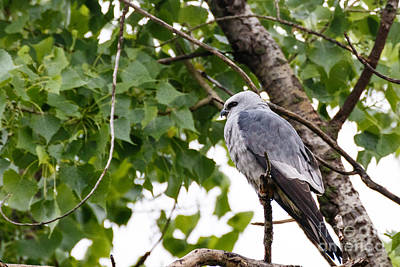 Grimm Fairy Tales Royalty Free Images - Mississippi Kite at Rest Royalty-Free Image by Richard Smith