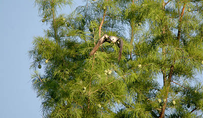 Mississippi Kite Photograph - Mississippi Kite In Flight With Nest Material by Roy Williams