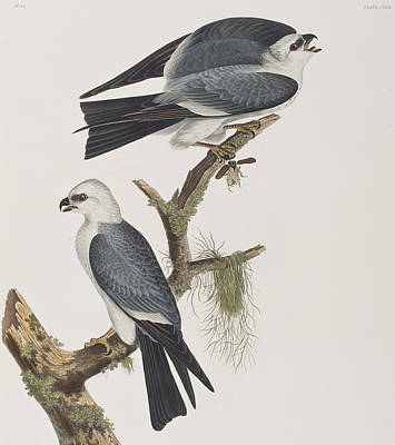 Kite Painting - Mississippi Kite by John James Audubon