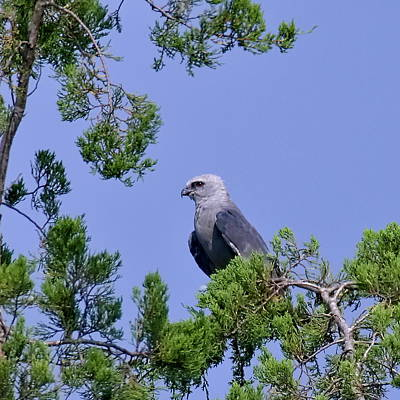 Mississippi Kite Photograph - Mississippi Kite Perched by Lynn Wilson