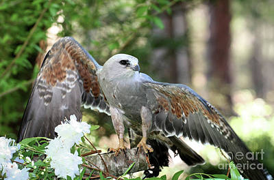 Photograph - Mississippi Kite Raptor by Kevin McCarthy
