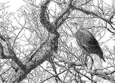 Bald Eagle Pencil Drawing Drawing - Mississippi River Sentinel - Bald Eagle by Craig Carlson