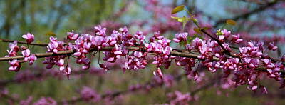 Photograph - Missouri Redbuds 2 by David Dunham